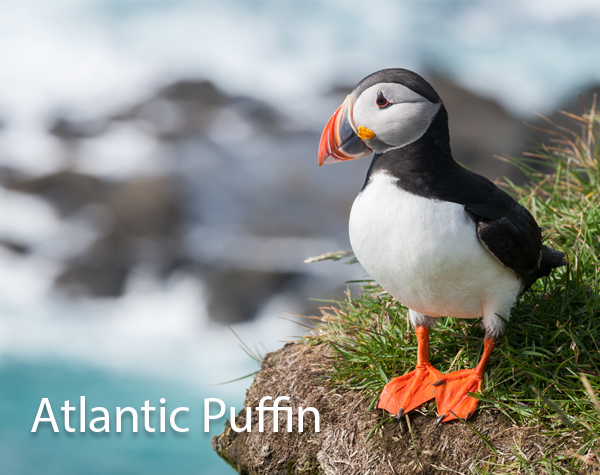 Atlantic Puffin 600x475