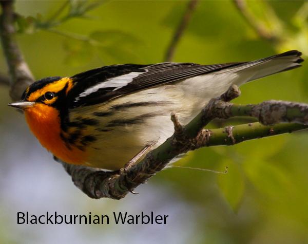 Blackburnian Warbler 600x475