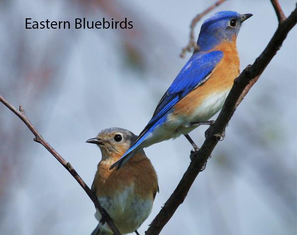 Eastern Bluebirds 600x475