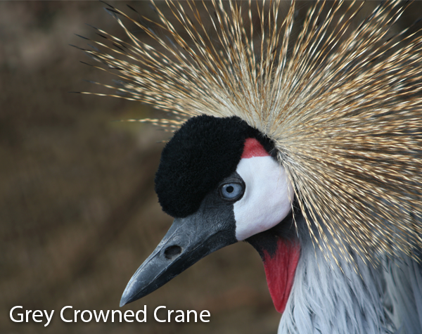 grey-crowned-crane-600x475