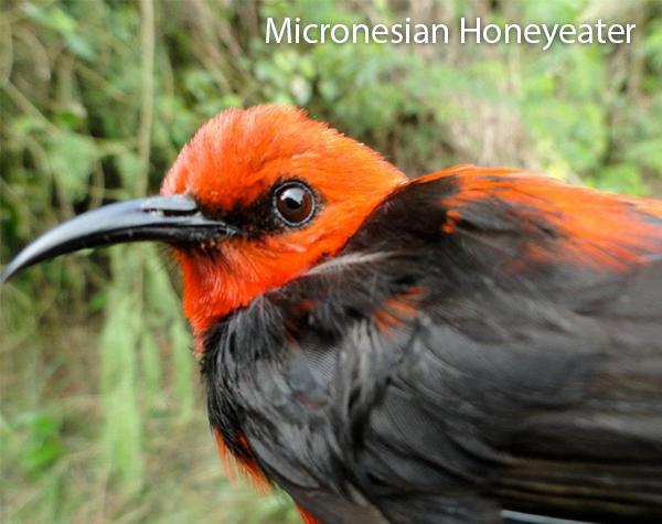micronesian-honeyeater-600x475