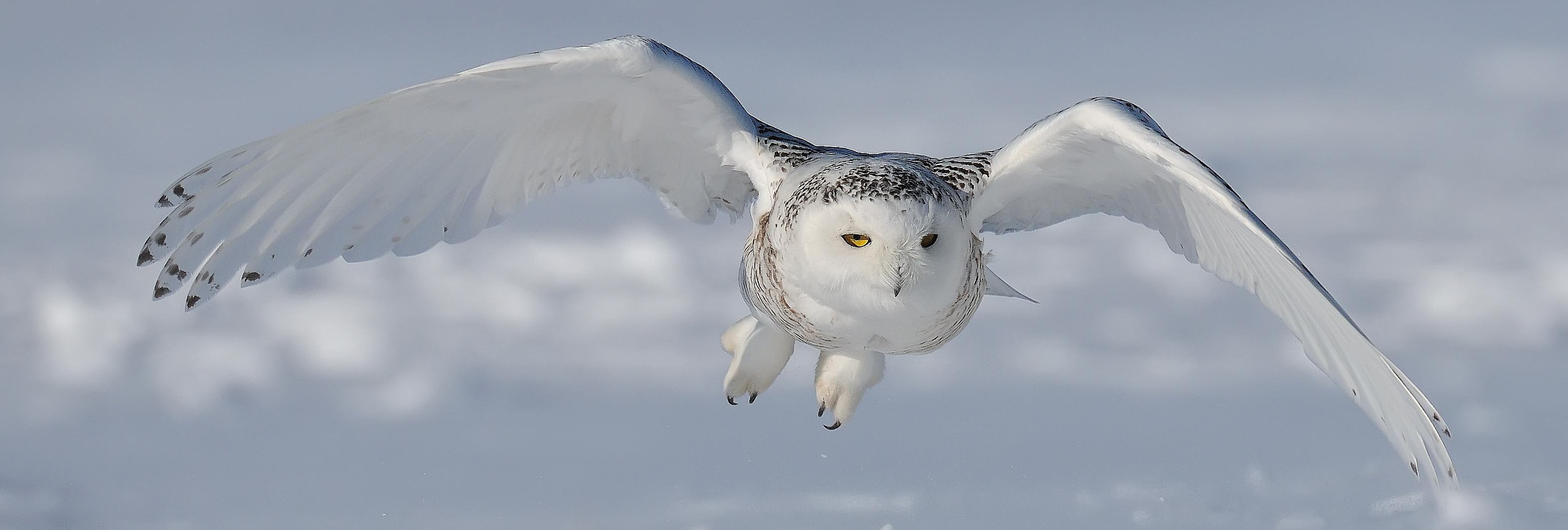 Snowy-Owl cropped