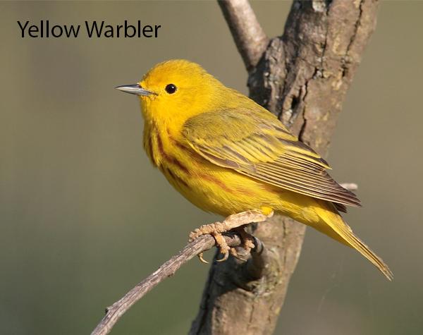 Yellow Warbler 600x475
