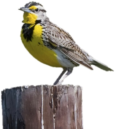 Eastern Meadowlark No Background