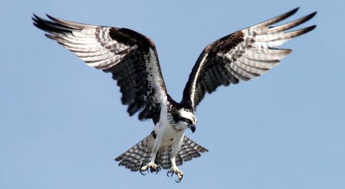 500x275_Osprey_PAIS_NPSphoto