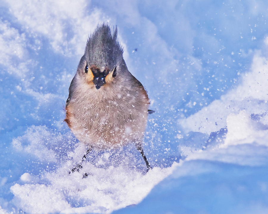 Dongfan Chen: Tufted Titmouse